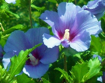 3 Rooted 8-12 inch tall Live Blue Hibiscus aka Rose of Sharon Plants, Beautiful Blooms, Perennial