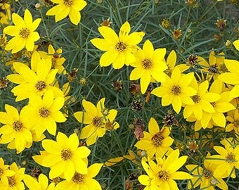 Rooted Live Coreopsis aka Tickseed - Rooted Plants, Beautiful Yellow Blooms, Hardy Perennial Plants