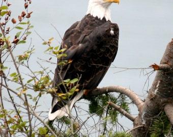 Pacific Northwest Bald Eagle Digital Download Photograph