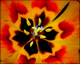 ACEO - Tulip - close up of the inside of a tulip