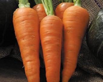 Carrot Danvers Half Long Seed-Organic heirloom Vegetable Seed-Non-GMO Seed