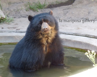 Original Fine Art Photo of Spectacled Bear