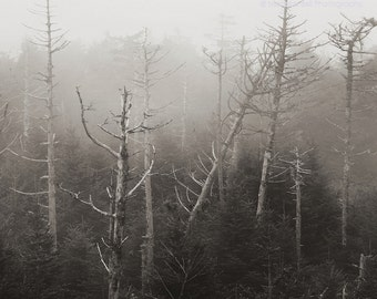 landscape photography, tree photography, trees in fog, trees, mountains, Skeletons of Hemlocks