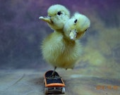MATURE,taxidermy two head freak duckling ,skateboard duckling, free shipping to every where