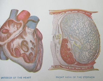 original page - color lithograph MEDICAL CHART from antique 1916 medical book - heart, lungs, liver, stomach, liver
