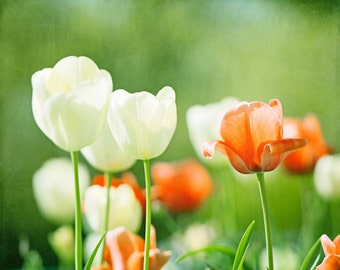 """Green, Orange Photography - flower white tulip print coral floral wall art nature photograph botanical picture colorful decor, """"Spirited"""""""
