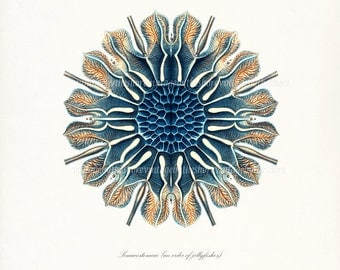 Ernst Haeckel Coastal Decor Fantasy Sea Giclee Life Art Print, Jellyfish No. 4(Siphonophorae) 8x10 blue