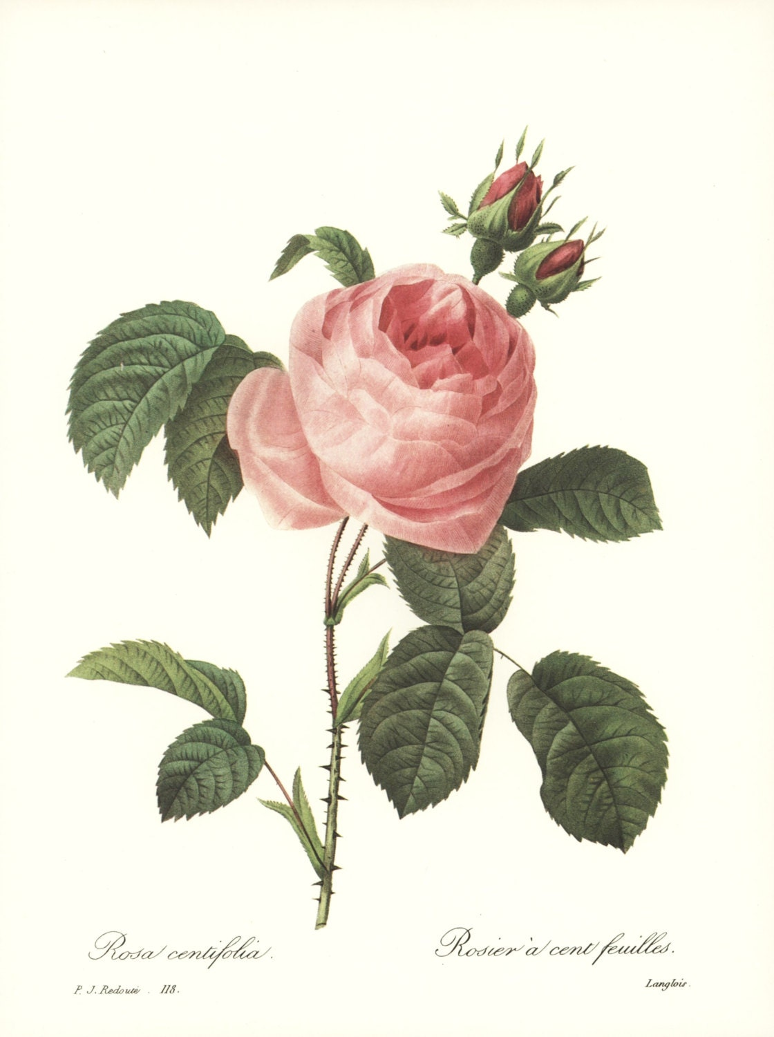 Sale redoute rose art print botanical by paragonvintageprints