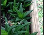 Aloe Black Gem, Drought tolerant, Green/Bronze Succulent, Drought Tolerant, Xeriscape, Rock Garden, Cactus, Aloe