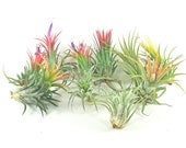 10 Air Plant Variety Pack - 10 Assorted Ionantha Tillandsia