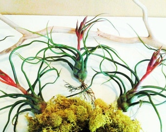 3 Air plants - Bulbosa Guatamala - Diy projects - Terrariums - Moss - diy projects - Bulbosa air plant