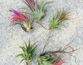 SALE Air Plant Iona Mix of 5