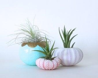 Urchin Air Plant Planter Trio with Air Plants  -  Aqua, Pink, Purple, White, Gold.