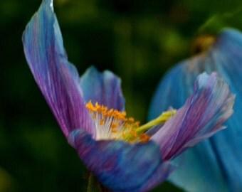 Limited Edition Blue Poppy  5x7 or 8x10