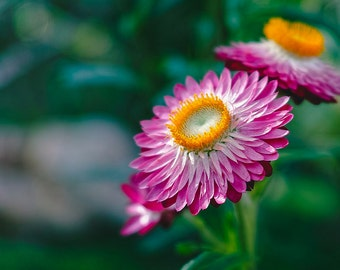 Heirloom 1000 Seeds Strawflower Helichrysum Garden flower bulk seeds B0071