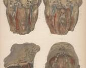 Antique Anatomy Print (Plate 13)