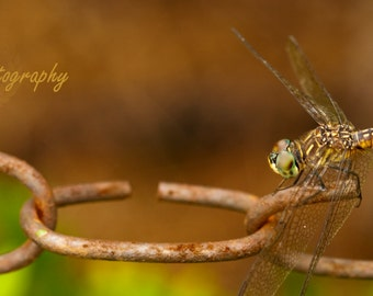 Chain Link Dragonfly