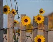 Sunflowers on a Fence, Yellow Flowers, yellow and brown, gifts for her, childrens wall art