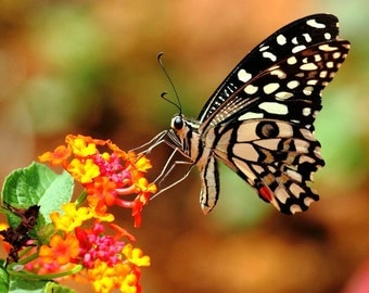 Butterfly Garden Collection, six species, 275 heirloom seeds, Milkweeds, Asclepias, Passionflower, Morning Glories, Monarchs