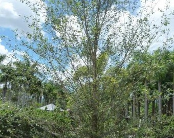500 Water Birch Tree Seeds, Betula Occidentalis