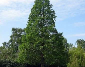 50 Dawn Redwood Tree Seeds, Metasequoia glyptostroboides
