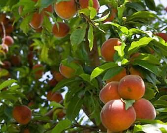 50 Nemaguard Peach Tree Seeds, Prunus nemaguard