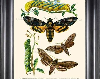 EUROPEAN BUTTERFLY PRINT  Botanical Art Print 7 Beautiful Butterflies Caterpillar Garden Insect Nature to Frame