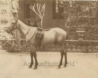 Beautiful Arabian horse antique albumen photo
