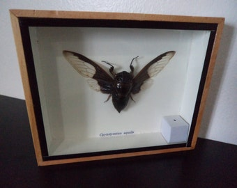 Cpytotymtan Aquila Beetle Moth Insect Taxidermy Cicada Entomology