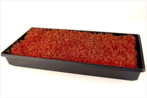 how to grow amaranth microgreens