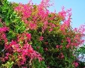 Coral vine seed, AKA Chinese Love Vine,Mexican Creeper, Desert Bleeding Heart