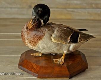 Antique Taxidermy Duck/ Mallard