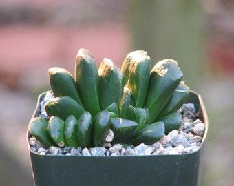 Haworthia Truncata Succulent Plant