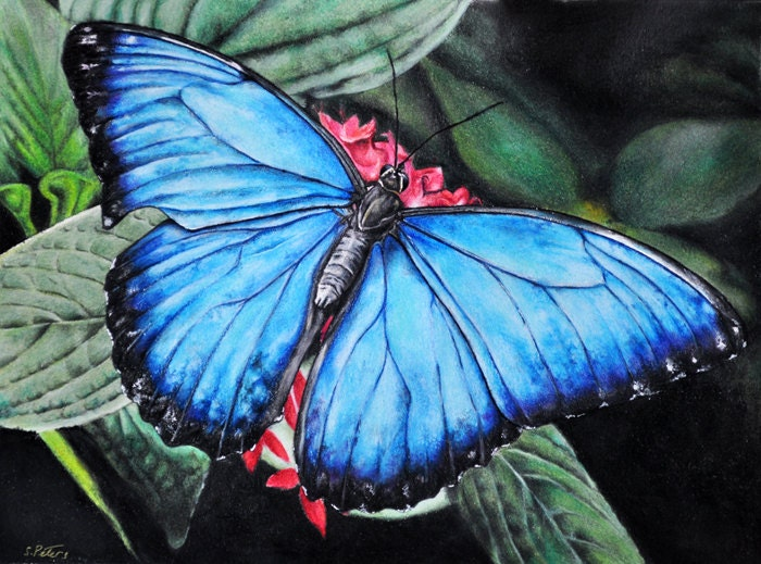 Original Colored Pencil Drawing Blue Morpho Butterfly 8x11