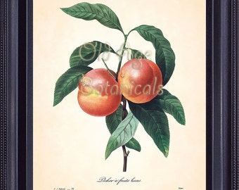 REDOUTE Antique French Fruit Print Large Orange PEACHES 8x10 Art Print Vintage Botanical Plate 95 Summer Garden Kitchen Wall Decor FV1333