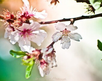 Almond tree flowers - Photography