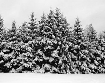 Pines Under Snow Black and White Photo Print Vermont Mounted Print Ready to Hang