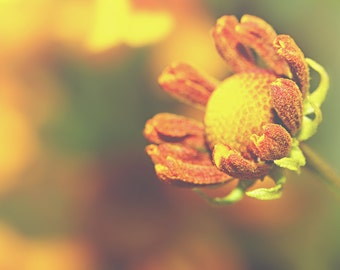 Sneeze Weed Color Photo Print { yellow, sunshine, sunlight, flower, blooming, orange, bud, wall art, macro, nature & fine art photography }