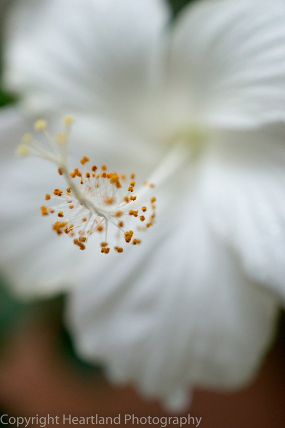 Large Print, Hibiscus Photo, Tropical Photography, White Flower, Neutral Art, Macro Photography, Jamaica, Heartland, Romantic Bedroom