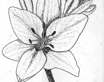 Lily, Hand Printed, Black & White; Original Intaglio Etching and Engraving, Limited Edition, Botanical, Flower Print, Asiatic Lily, Etching