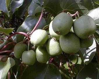 "2 Hardy Kiwi Plants - Actinidia - Anna and Meader - 2.5"" Pot"