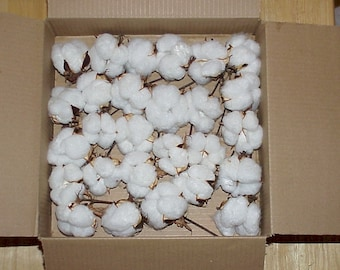 25 high quality real cotton bolls  grown in NC by me.