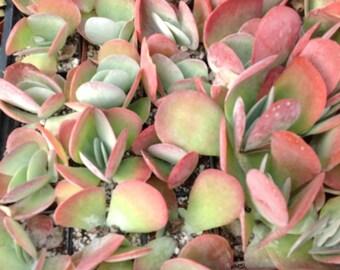 "Succulent plant, Kalanchoe Luciae ""FlapJack"". Very unusual plant."