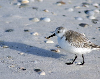 Sand Piper by the Sea - Canvas Giclée - Photo Print 12 x 24
