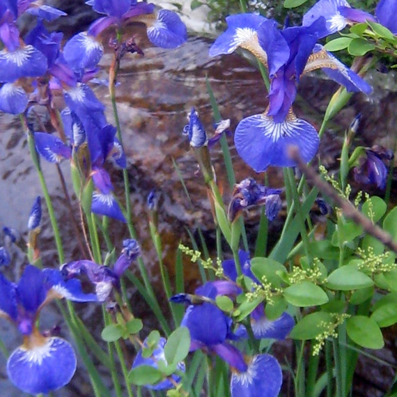 Blue flag iris 2 live plants sprouted rhizomes by for Pond plants that survive winter