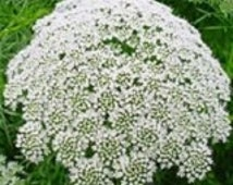 Ammi Queen Anne's White Lace Flower Seeds / Annual 50+