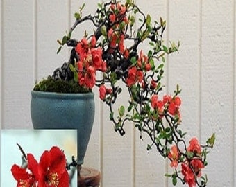 Chaenomeles Japonica Flowering Quince Bonsai Tree 10 seeds * Amazing * Rare *