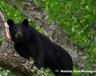A Mother Bear in Cades Cove