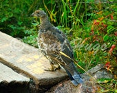 Rocky Mountain Blue Grouse along a hiking trail in Rocky Mountain National Park