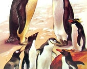 Bird Print - Emperor penguin, King Penguin, Gentoo Penguin, Marconi Panguin - 1973 Vintage Bird Print -  Book Page from Encyclopedia